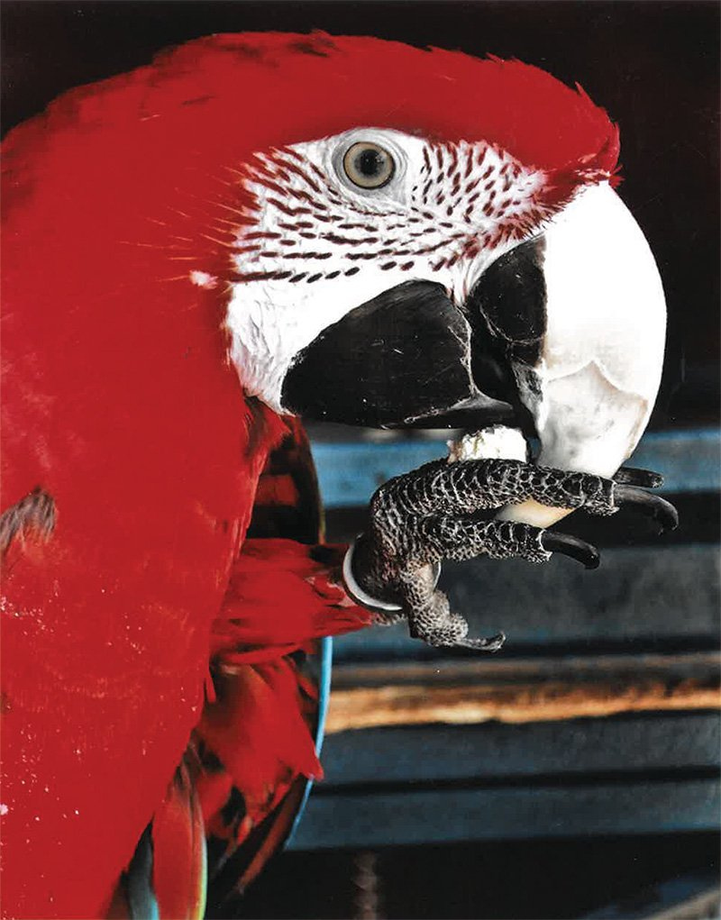 Chessie the Parrot